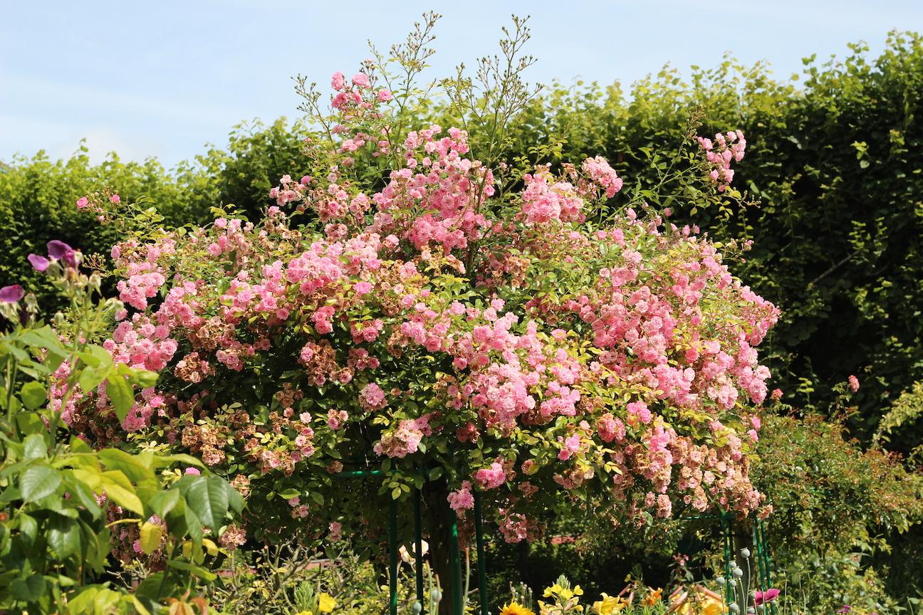Monets trädgård, tänk att ha den där rosenbusken (trädet?) hemma!